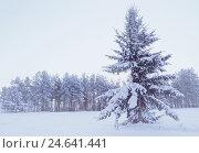 Winter landscape - snowy fir tree in the winter forest under falling snow in cold winter evening, фото № 24641441, снято 27 ноября 2010 г. (c) Зезелина Марина / Фотобанк Лори