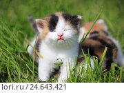 Купить «House cats, young animals, meadow,», фото № 24643421, снято 6 ноября 2007 г. (c) mauritius images / Фотобанк Лори