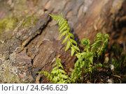 Купить «Young fern, worm fern, Dryopteris filix-mas,», фото № 24646629, снято 17 августа 2018 г. (c) mauritius images / Фотобанк Лори