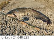 Купить «Пойманный сом», фото № 24648225, снято 17 мая 2012 г. (c) Андрей Забродин / Фотобанк Лори