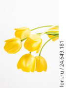 Купить «Tulips, yellow, close-up, studio, cut out,», фото № 24649181, снято 16 августа 2018 г. (c) mauritius images / Фотобанк Лори