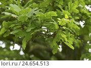 Купить «Oak, detail, leaves,», фото № 24654513, снято 12 января 2009 г. (c) mauritius images / Фотобанк Лори