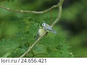 Купить «Blue tits, Cyanistes caeruleus, Parus caeruleus, Altvogel with young bird,», фото № 24656421, снято 23 июля 2018 г. (c) mauritius images / Фотобанк Лори