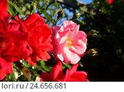 Купить «Shrub roses, dog-roses, trellises, blossoms, close up,», фото № 24656681, снято 15 июня 2011 г. (c) mauritius images / Фотобанк Лори