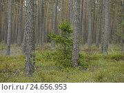Купить «Scenery, wood, spruce, Picea abies, Scots pines, Pinus sylvestris», фото № 24656953, снято 17 июля 2018 г. (c) mauritius images / Фотобанк Лори