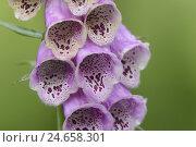 Купить «Purple foxglove, digitalis purpurea, blossom, medium close-up,», фото № 24658301, снято 22 июля 2018 г. (c) mauritius images / Фотобанк Лори