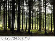 Купить «Spruce forest, Norway spruces, Picea abies, Upper Palatinate, Bavaria, Germany,», фото № 24659713, снято 17 июля 2018 г. (c) mauritius images / Фотобанк Лори