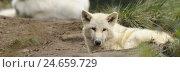 Купить «Arctic wolf, Canis lupus arctos, young wolf, lying, side view, looking at camera,», фото № 24659729, снято 22 марта 2019 г. (c) mauritius images / Фотобанк Лори