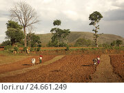 Купить «Asia, South-East Asia, Myanmar, Burma, Shanstaat, area around Kalaw, women, work in the fields, ox plough up field,», фото № 24661249, снято 24 июня 2018 г. (c) mauritius images / Фотобанк Лори