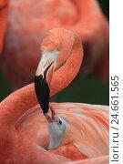 Купить «Red flamingo with young animal,», фото № 24661565, снято 18 июня 2019 г. (c) mauritius images / Фотобанк Лори