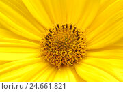 Купить «Heliopsis, Heliopsis helianthoides var. scabra, blossom, close up,», фото № 24661821, снято 16 августа 2018 г. (c) mauritius images / Фотобанк Лори