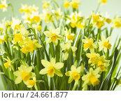 Купить «Yellow narcissi, Narcissus pseudonarcissus,», фото № 24661877, снято 22 мая 2019 г. (c) mauritius images / Фотобанк Лори