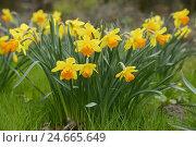 Купить «Narcissus, 'Juanita', Narcissus juanita, blossom,», фото № 24665649, снято 22 мая 2019 г. (c) mauritius images / Фотобанк Лори