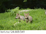 Купить «Eastern timber wolves, Canis lupus lycaon, puppies, meadow, standing, looking at camera,», фото № 24669541, снято 20 февраля 2019 г. (c) mauritius images / Фотобанк Лори