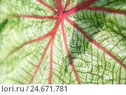 Купить «bichrome Kaladie, leaves, medium close-up,», фото № 24671781, снято 17 июня 2019 г. (c) mauritius images / Фотобанк Лори