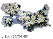 Купить «Хризантемы. Рисунок в стиле се-и», иллюстрация № 24707681 (c) Заноза-Ру / Фотобанк Лори