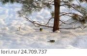 Купить «flock of titmice eating sunflower seeds on snow under a tree», видеоролик № 24709737, снято 16 декабря 2016 г. (c) Володина Ольга / Фотобанк Лори