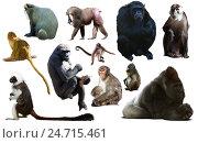 Купить «set of primates», фото № 24715461, снято 23 апреля 2019 г. (c) Яков Филимонов / Фотобанк Лори