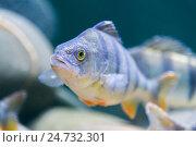 marine fish in the aquarium in glass. Стоковое фото, фотограф Володина Ольга / Фотобанк Лори