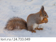 Купить «Рыжая белка на снегу с грецким орехом», фото № 24733049, снято 6 ноября 2016 г. (c) Литвяк Игорь / Фотобанк Лори