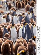 Купить «King penguins, Aptenodytes patagonicus», фото № 24737321, снято 18 сентября 2019 г. (c) age Fotostock / Фотобанк Лори
