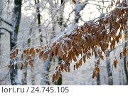 Ветка букового дерева (Fagus sylvatica L.) с осенними листьями, покрытая снегом. Стоковое фото, фотограф Ирина Борсученко / Фотобанк Лори