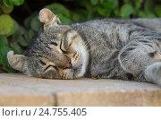 Купить «Серая уличная кошка спит на бордюре», фото № 24755405, снято 24 октября 2016 г. (c) Gaft Eugen / Фотобанк Лори