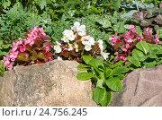 Купить «Бегония вечноцветущая (лат. Begonia semperflorens) на клумбе в саду», фото № 24756245, снято 17 июля 2016 г. (c) Елена Коромыслова / Фотобанк Лори