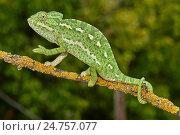 Купить «European Chamaleon (Chamaeleo chamaeleon) on a tree branch. Benalmadena, Malaga Province, Andalusia, Spain.», фото № 24757077, снято 31 июля 2016 г. (c) age Fotostock / Фотобанк Лори