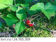 Купить «Ягоды костяники  в лесу», фото № 24765309, снято 9 марта 2014 г. (c) Игорь Потапов / Фотобанк Лори