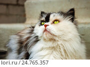 Купить «Персидская трехцветка с зелеными глазами», фото № 24765357, снято 7 июля 2011 г. (c) Александр Романов / Фотобанк Лори