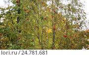 Купить «autumn forest with rowan tree and birds», видеоролик № 24781681, снято 13 октября 2016 г. (c) Syda Productions / Фотобанк Лори