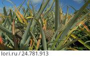 Купить «View of pineapple plants farm in summer season against blue sky, Mauritius Island», видеоролик № 24781913, снято 26 сентября 2016 г. (c) Данил Руденко / Фотобанк Лори