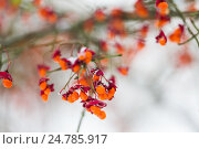 Купить «spindle or euonymus branch with fruits in winter», фото № 24785917, снято 11 ноября 2016 г. (c) Syda Productions / Фотобанк Лори
