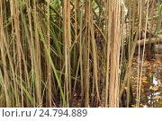 Купить «Mangrove trees growing in water, roots», фото № 24794889, снято 17 января 2015 г. (c) EugeneSergeev / Фотобанк Лори