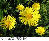 Купить «Дороникум подорожниковый - Doronicum plantagineum», фото № 24795101, снято 28 мая 2016 г. (c) Беляева Наталья / Фотобанк Лори