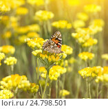 Купить «Бабочка на бессмертнике», фото № 24798501, снято 27 июля 2011 г. (c) Икан Леонид / Фотобанк Лори