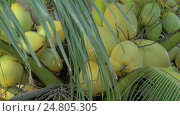 Купить «View of yellow green coconut in the bunch on coconut palm tree with huge leaves», видеоролик № 24805305, снято 13 декабря 2016 г. (c) Данил Руденко / Фотобанк Лори