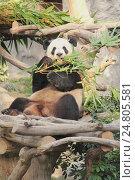 Панды в зоопарке Макао, Колоань (2015 год). Редакционное фото, фотограф Vladislav Osipov / Фотобанк Лори