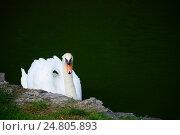 Beautiful swan in the water. Стоковое фото, фотограф Галина Голубь / Фотобанк Лори