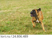Купить «Молодая собака породы немецкий боксер играет в парке», фото № 24806489, снято 13 сентября 2015 г. (c) Наталья Гармашева / Фотобанк Лори