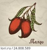 Ветка с плодами и листьями манго. Стоковая иллюстрация, иллюстратор Станислав Хомутовский / Фотобанк Лори