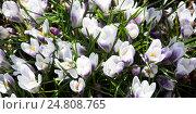 Белые крокусы весной. Стоковое фото, фотограф Виктор Андреев / Фотобанк Лори