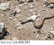 Змея ползет по земле, извиваясь среди камней. Стоковое фото, фотограф Игорь Кириленко / Фотобанк Лори