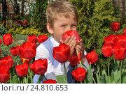 Мальчик нюхает красные тюльпаны в саду. Стоковое фото, фотограф Евгений Суворов / Фотобанк Лори