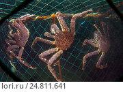 Камчатские крабы в сети, Россия, Баренцево море. Стоковое фото, фотограф Некрасов Андрей / Фотобанк Лори
