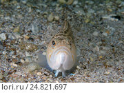 Рыба-звездочёт (Uranoscopus scaber), Черное море. Стоковое фото, фотограф Некрасов Андрей / Фотобанк Лори