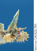 Агономал хоботный, морская лисичка (agonomalus proboseidalis) Японское море, Дальний Восток, Приморский край. Стоковое фото, фотограф Некрасов Андрей / Фотобанк Лори