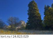 Купить «Пихты в Кавказских горах», фото № 24823029, снято 19 октября 2016 г. (c) александр жарников / Фотобанк Лори