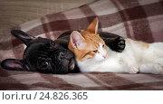 Купить «Кошка и собака лежат вместе на пледе», фото № 24826365, снято 17 июля 2018 г. (c) Ирина Козорог / Фотобанк Лори
